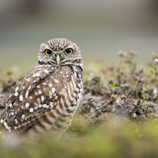 """""""Florida Burrowing Owl in Burrow"""" stock image"""