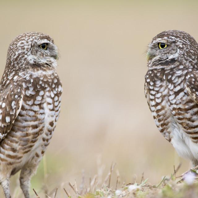 """Florida Burrowing Owl Pair"" stock image"