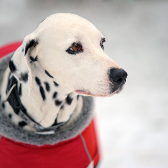 """Portrait of beautiful Dalmatian dog in a red coat in winter"" stock image"