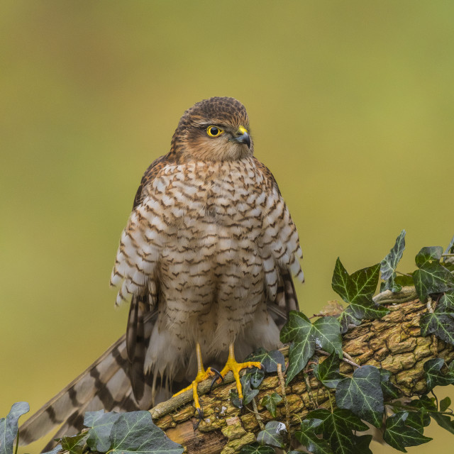 """Sparrow Hawk (F)"" stock image"