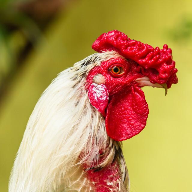"""Chicken Rooster Head Portrait"" stock image"
