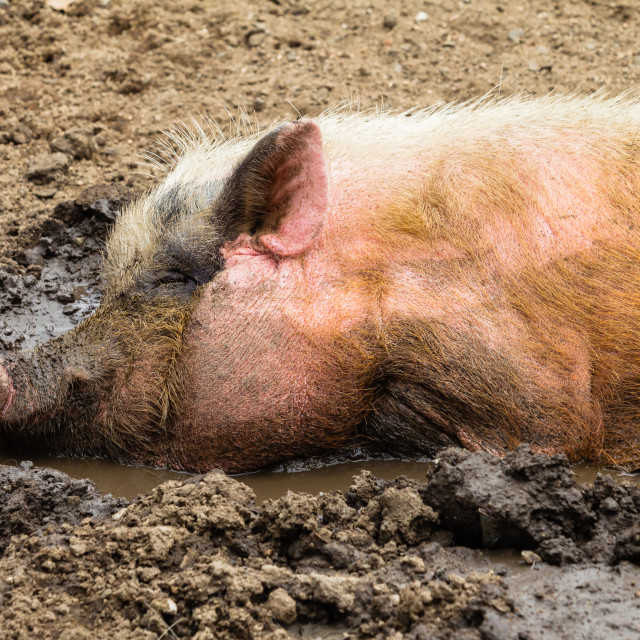 """Pig Mud Water Closeup"" stock image"