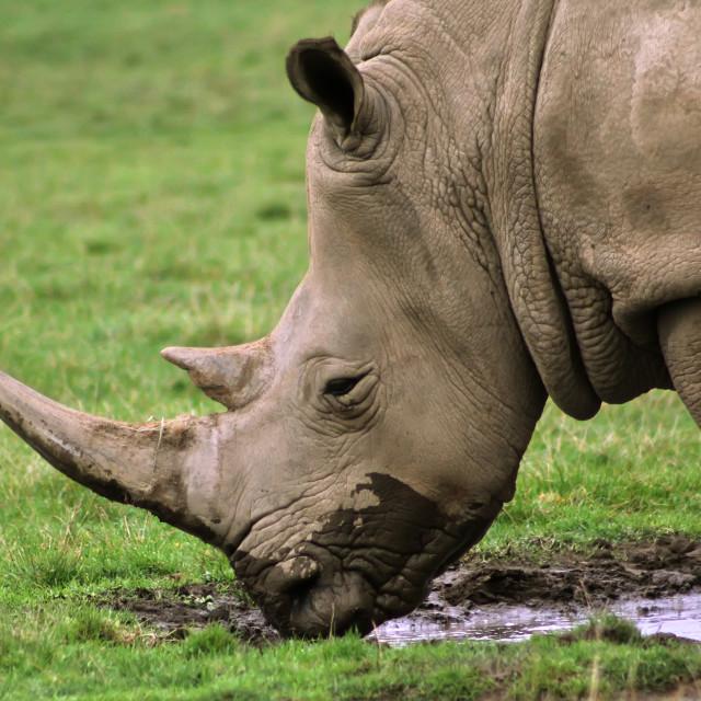 """Drinking Rhino"" stock image"