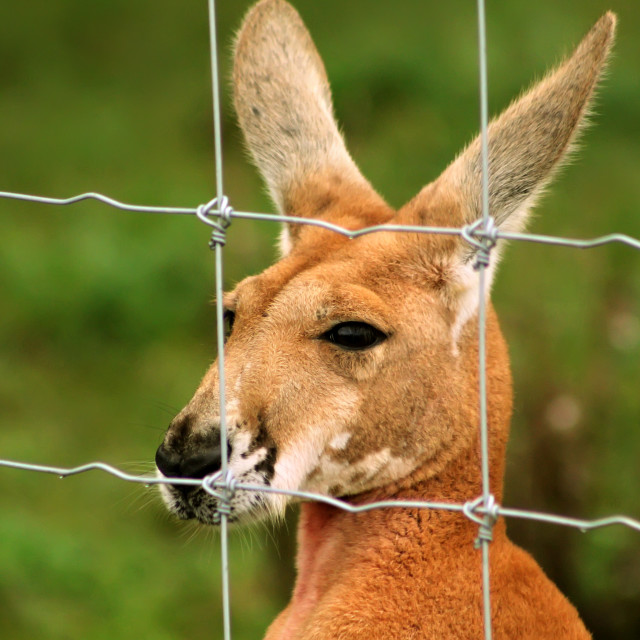 """""""Caged Kangaroo"""" stock image"""