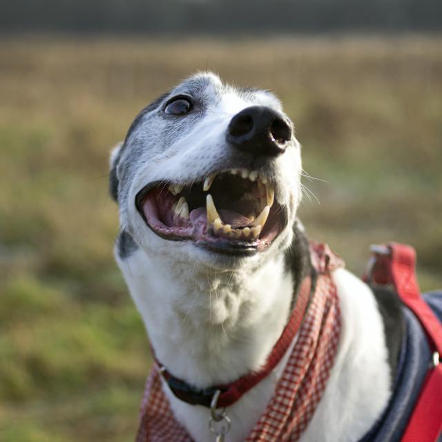 """Happy Greyhound"" stock image"