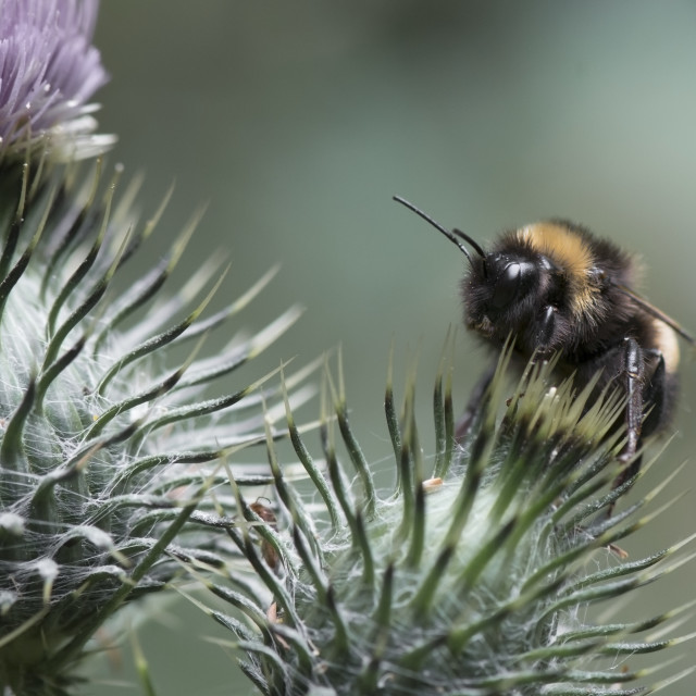 """Bumblebee on Thistle"" stock image"