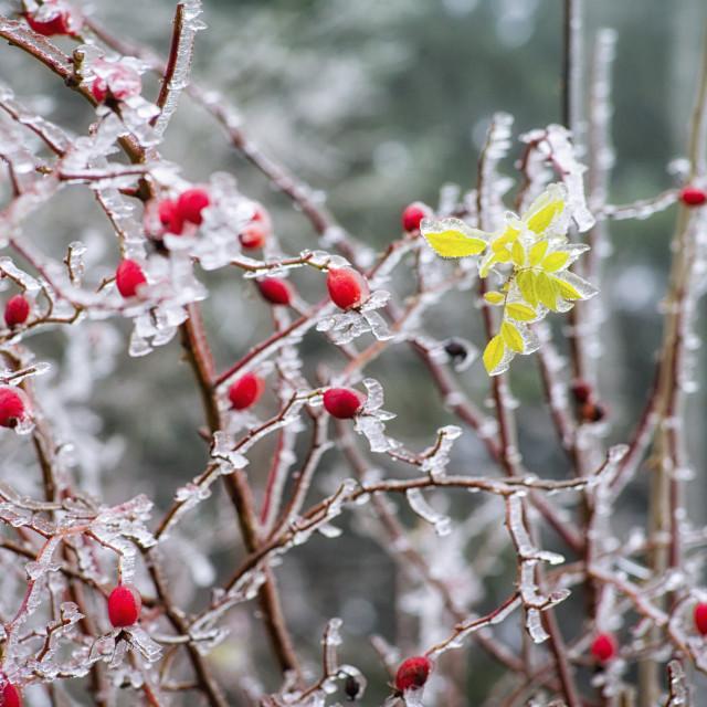 """""""Frozen dog rose"""" stock image"""
