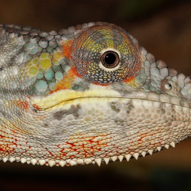 """Panther Chameleon Extreme Closeup"" stock image"