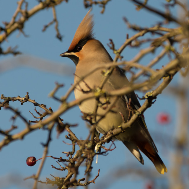 """Immature Waxwing"" stock image"