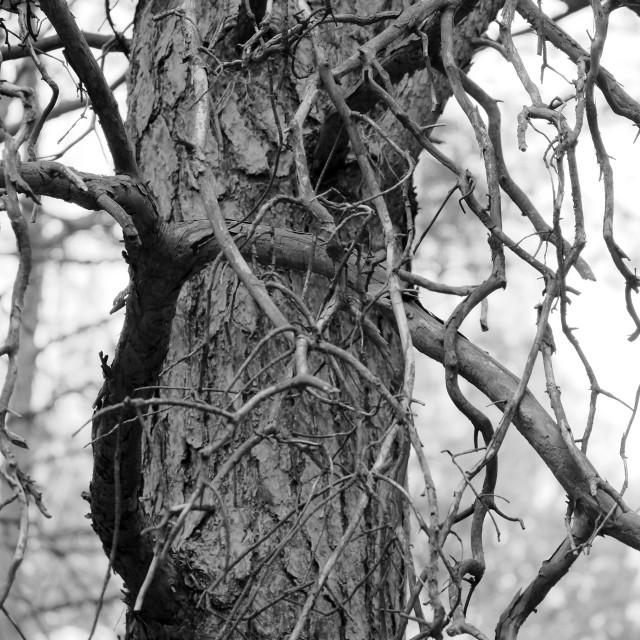 """""""Pine Tree"""" stock image"""