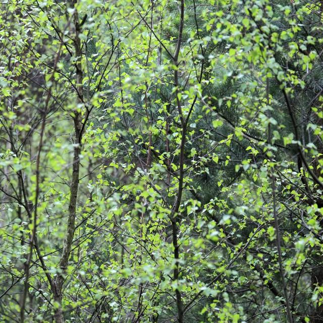 """Birch Leaves"" stock image"