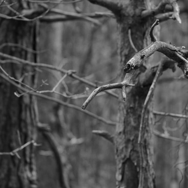 """Pine Twigs"" stock image"