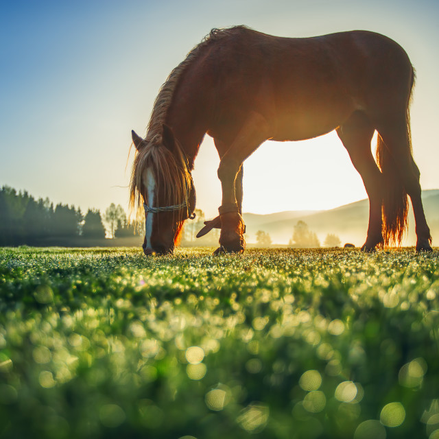 """Horses grazing on pasture at misty sunrise"" stock image"