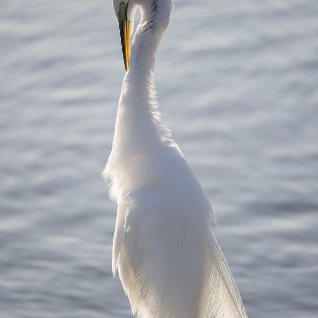 """Great Egret Preening 2"" stock image"