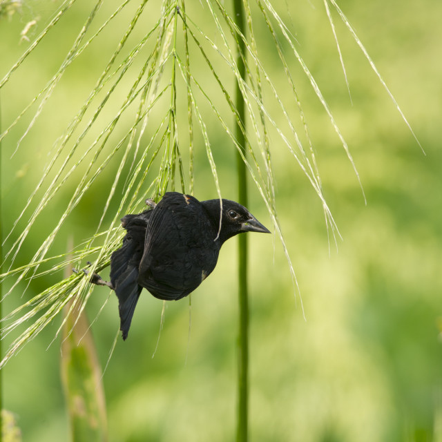 """Red-Winged Blackbird Hanging"" stock image"