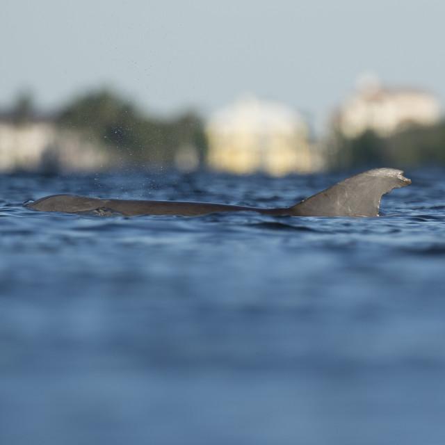 """Surfacing Bottlenose Dolphin"" stock image"
