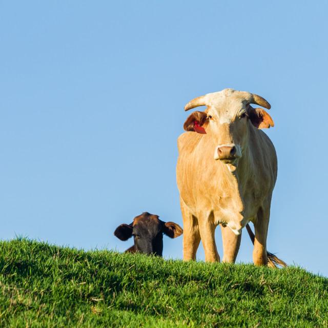 """Cows Farm Animals"" stock image"