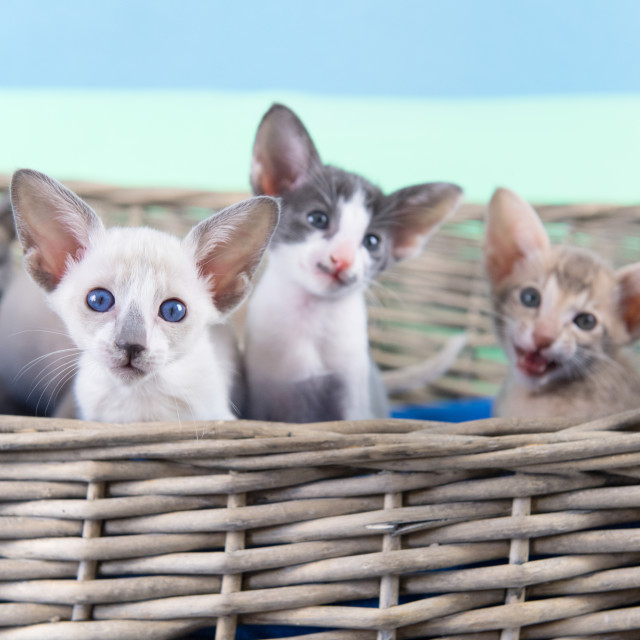"""""""Little Siamese kitten"""" stock image"""