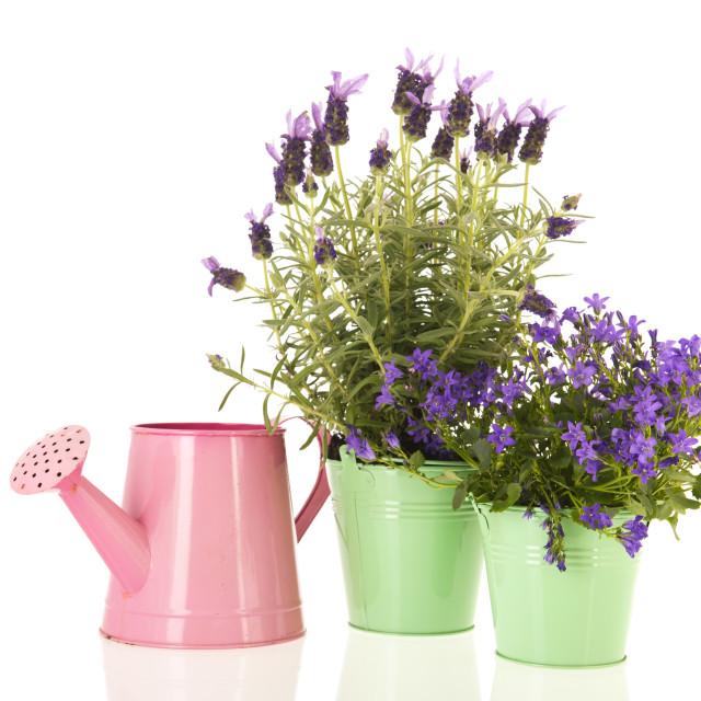 """Campanula and Lavandula in flower pot"" stock image"