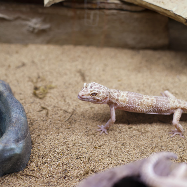 """Mediteranean Gecko"" stock image"