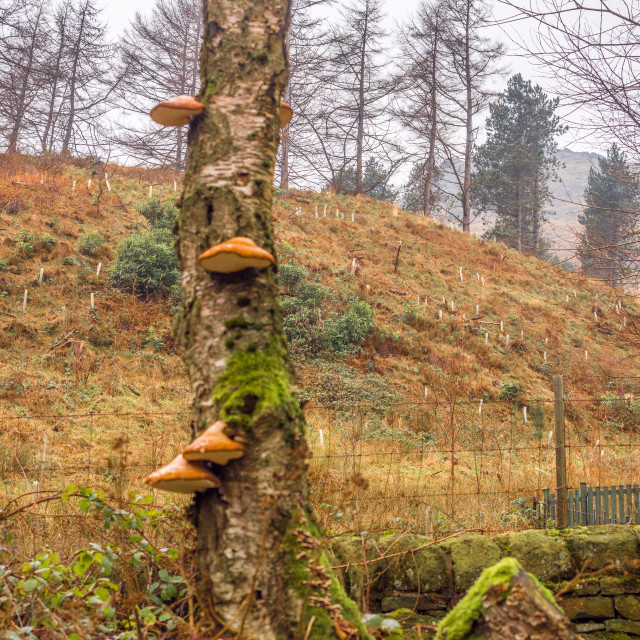 """Bracket fungus at Dove stones reservoir on a cloudy winters January day after..."" stock image"