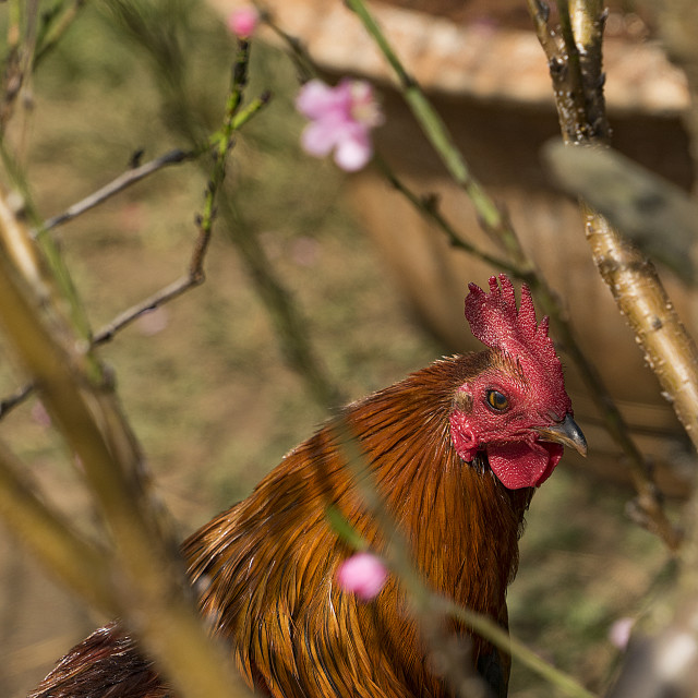 """""""Year of the rooster"""" stock image"""