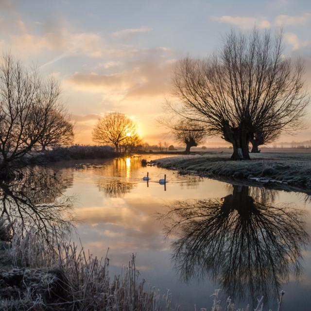 """""""Swans at Sunrise"""" stock image"""