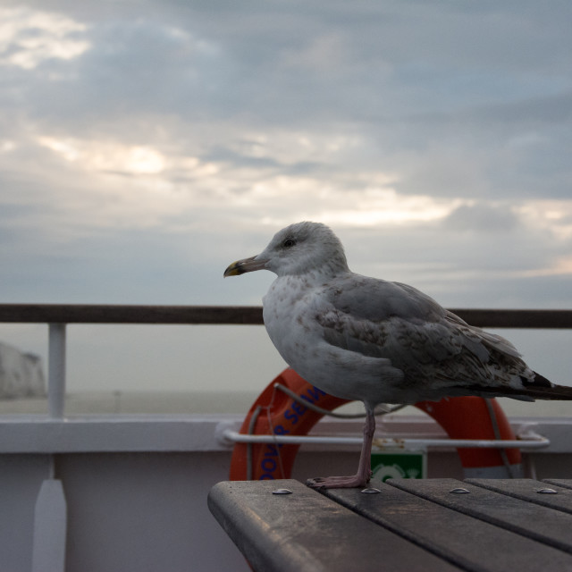 """""""Seagul at White cliffs of Dover and the English Channel"""" stock image"""