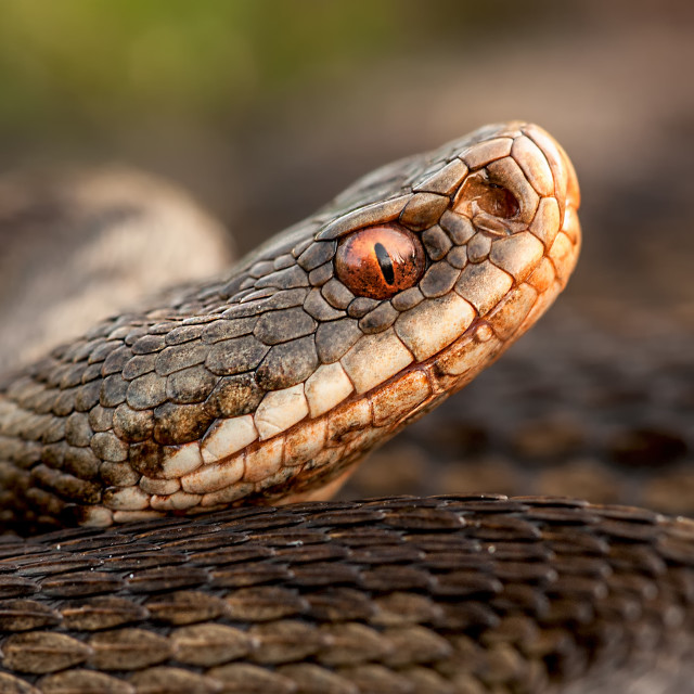 """Adder"" stock image"