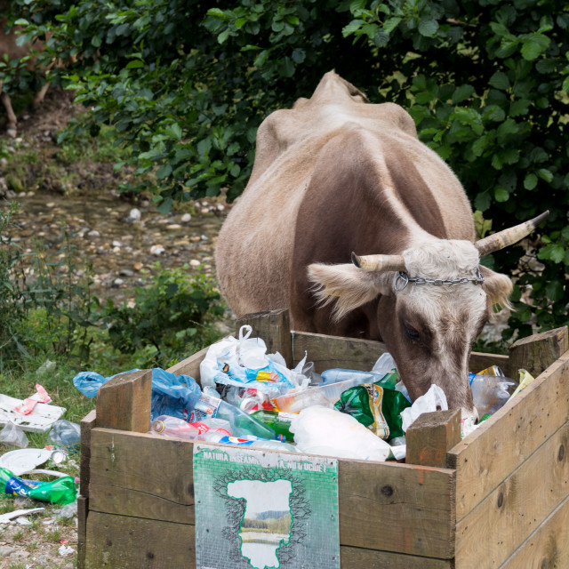 """""""Cow and Waste"""" stock image"""