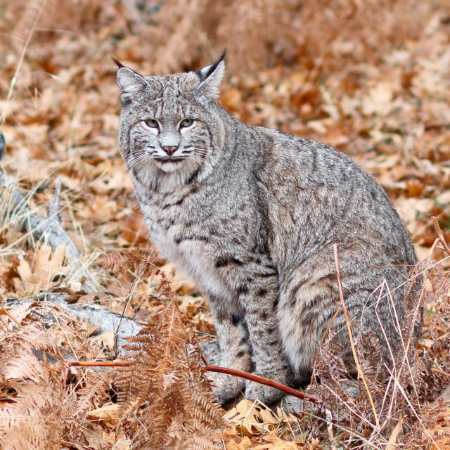 """Bobcat hunting"" stock image"