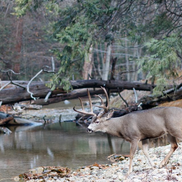"""Mule deer buck walking toward river"" stock image"