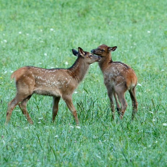 """""""Elk calves playing"""" stock image"""