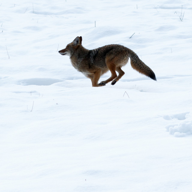 """""""Coyote hunting in the snow"""" stock image"""