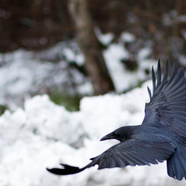 """Raven flying above snow"" stock image"