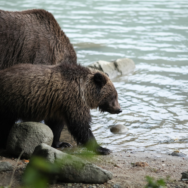 """Brown bear fishing"" stock image"