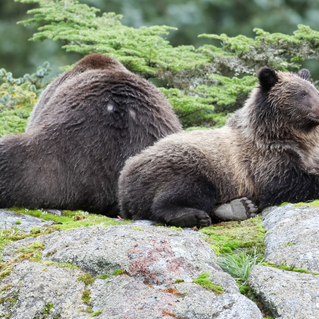 """Brown bear lying down"" stock image"
