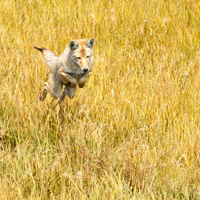 """""""Coyote jumping and hunting"""" stock image"""