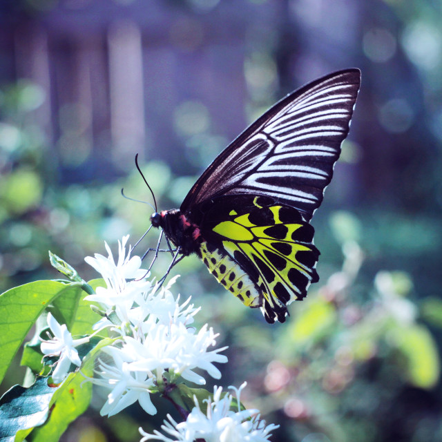 """""""Aromatic, coffee flower 