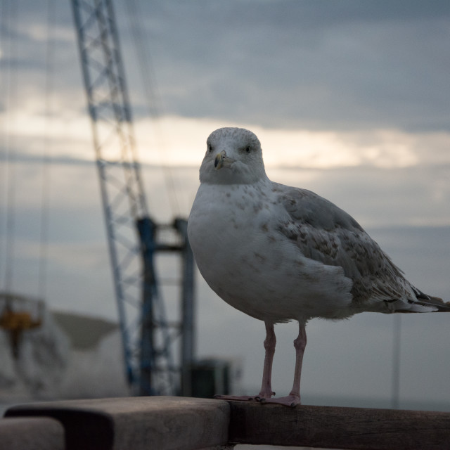 """""""Seagull at White cliffs of Dover and the English Channel"""" stock image"""