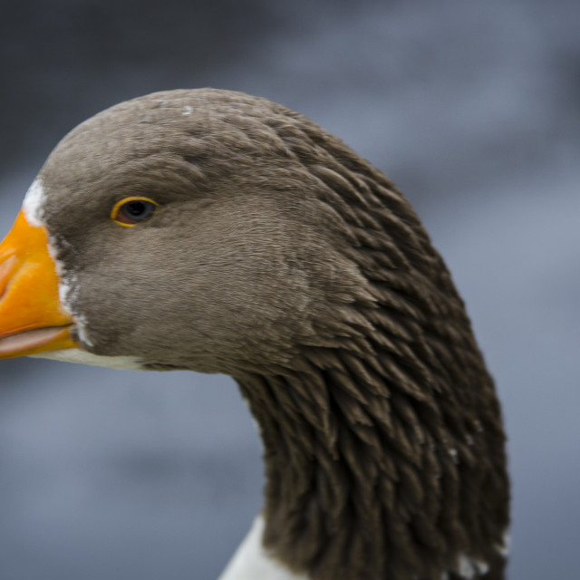 """one swedish goose is eat graas"" stock image"