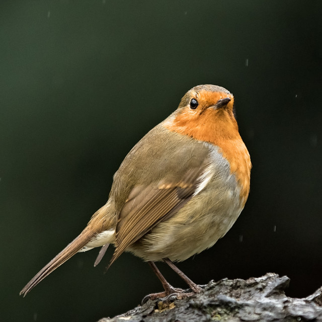 """The Robin in the Rain"" stock image"