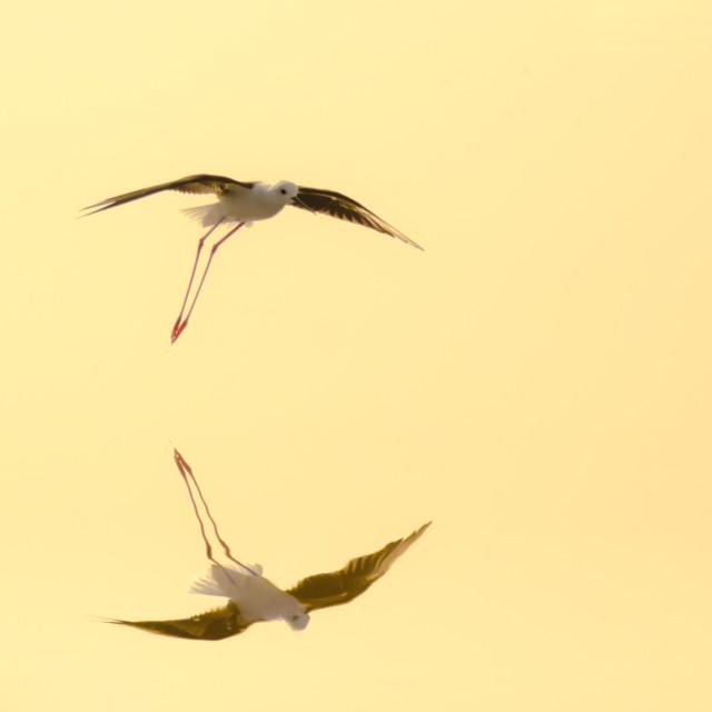"""blk winged stilt fly"" stock image"