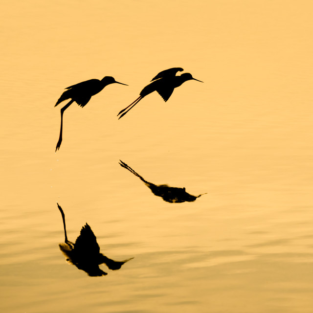 """""""gold fly silhouette"""" stock image"""