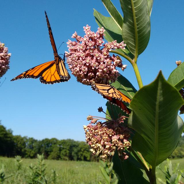 """""""Monarchs and Milkweed"""" stock image"""
