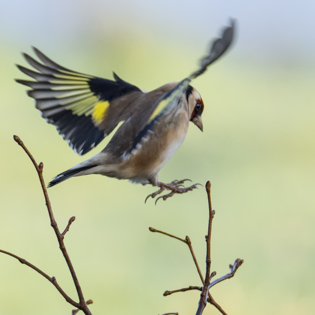 """Goldfinch in Flight, RSPB Lochwinnoch"" stock image"