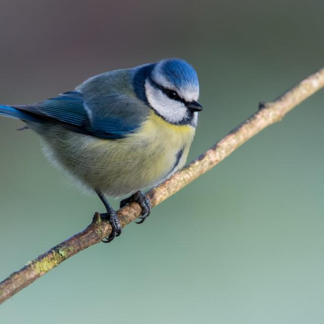 """Blue Tit, RSPB Lochwinnoch"" stock image"