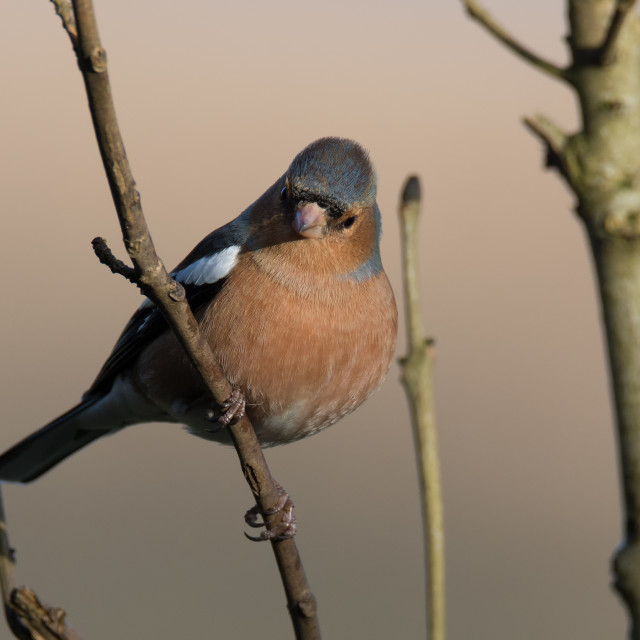 """Male Chaffinch"" stock image"