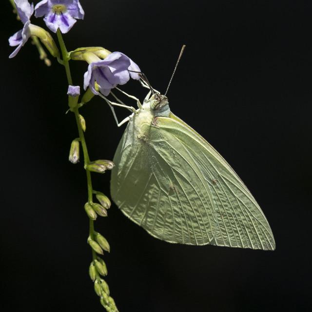 """Butterfly Sulphur White"" stock image"