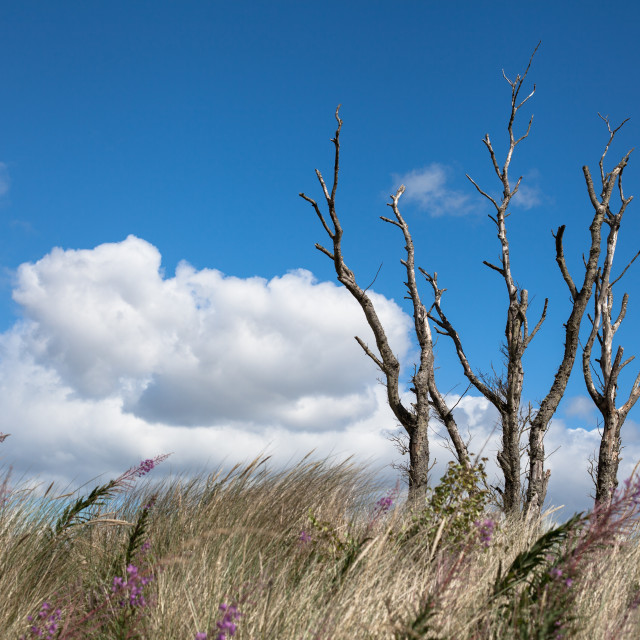 """Tentsmuir Trees"" stock image"